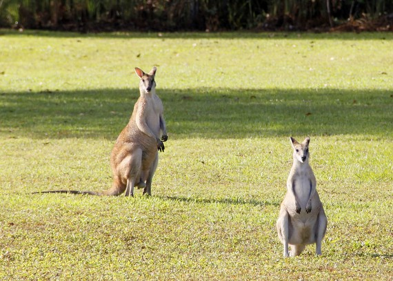 wallabees australia