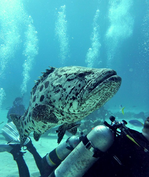Scuba diving Cod Hole