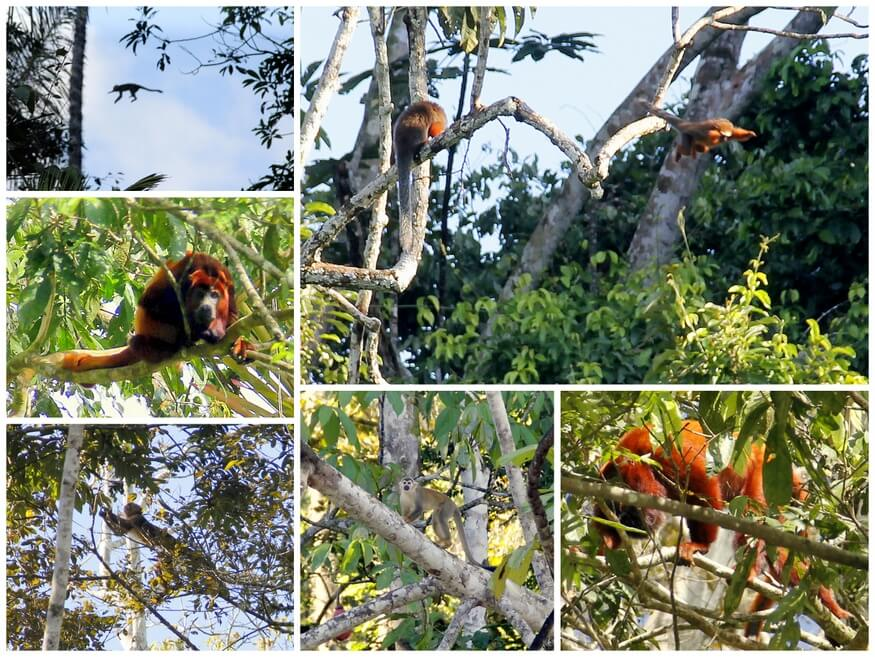 Ecuadorian Monkeys
