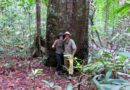 Rubber tree in the Amazon