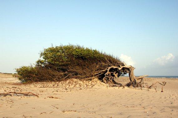 Avore de Preguiça - Lazy tree - Jericoacoara