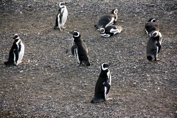 Penguins of Ushuaia