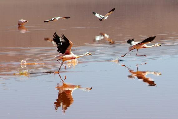 Flamingos run along the water while flapping their huge wings Lago Colorado