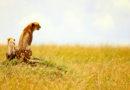 Cheetah in the Masai Mara Kenya