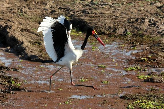German birds at Robin Pope Nsefu Camp, Zambia