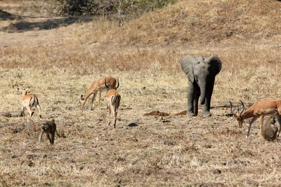 Large variety of animals at Robin Pope's Nsefu Camp