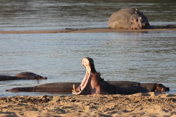 Hippo at Nsefu Camp, Zambia