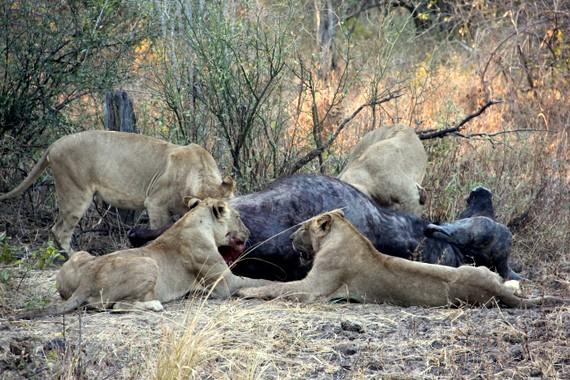 Lion kill buffalo at Nsefu Camp, Zambia