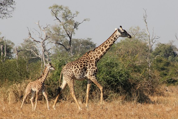 What is the Thornicrofts Giraffe, Zambia
