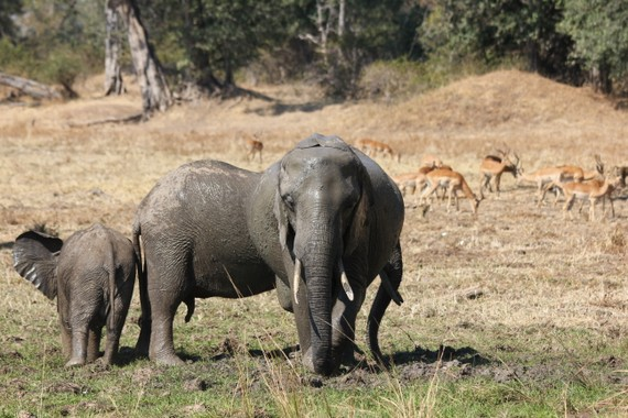 Elephants bathing in South Luangwa National Park, Zambia