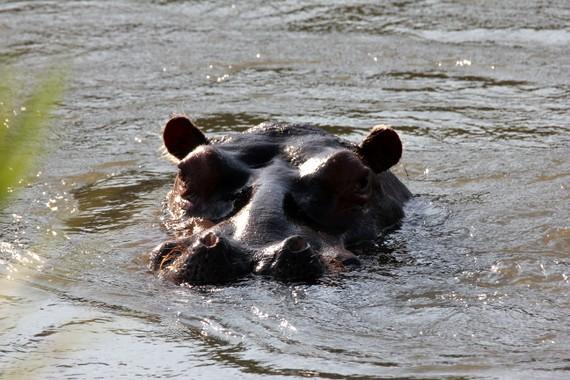 Malawi hippos
