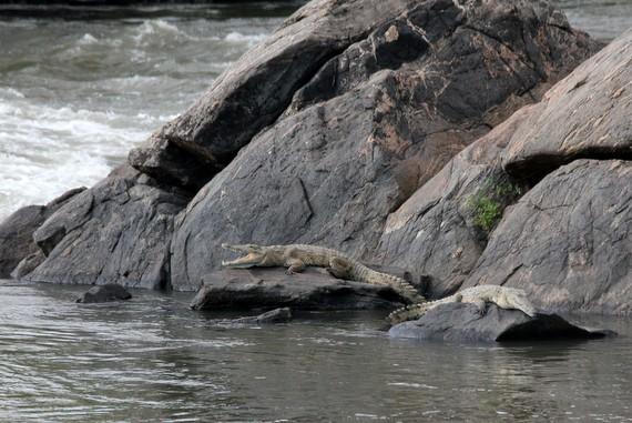 Malawi crocodiles