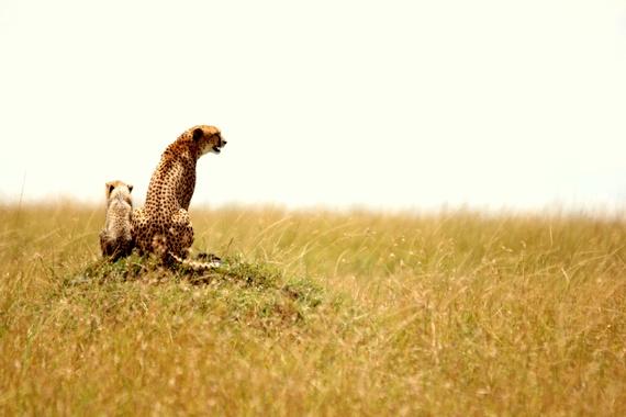 Cheetah and baby in Masai Mara - Maasai Mara, Kenya