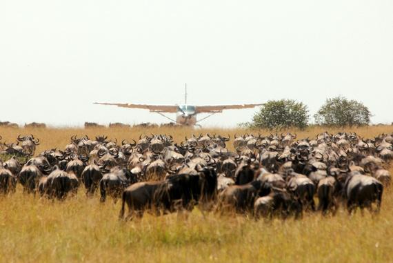 Wildebeest on the runway at Masai Mara, Kenya