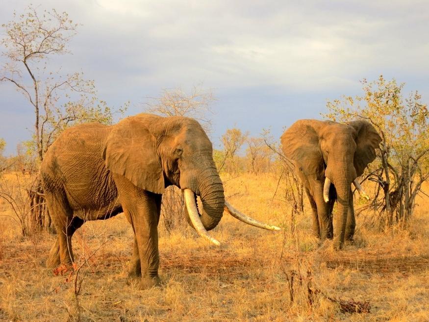 huge tusk elephants