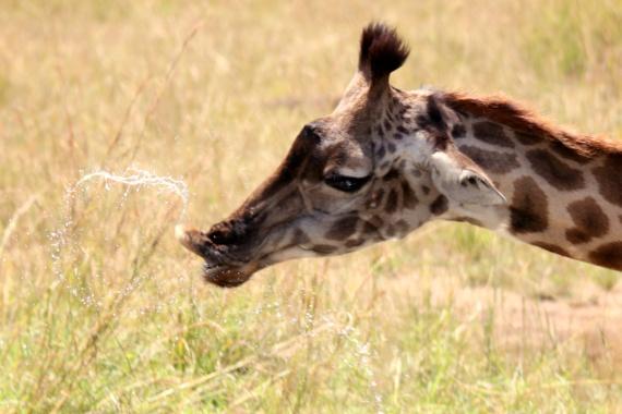 Drinking giraffe Masai Mara Kenya