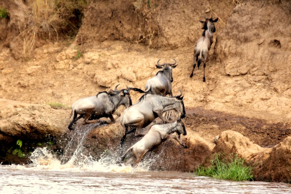 Wildebeest chased by an alligator in the Masai Mara, Kenya