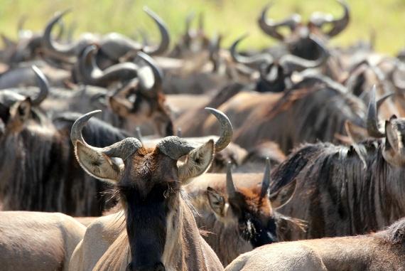 Wildebeest migration Serengeti Maasai Mara