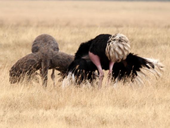 ostrich courtship