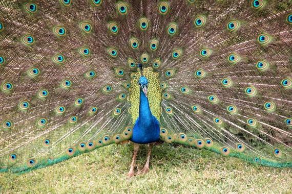 Peacock at Kenya's Aberdare National Park