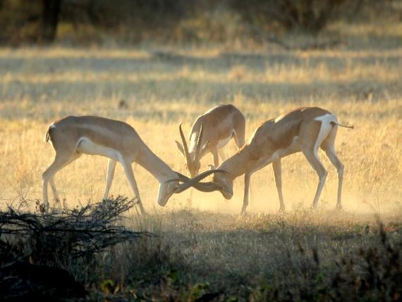 Grand Gazelles fighting