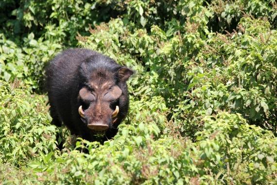 Bush Pig at The Ark Safari, Kenya