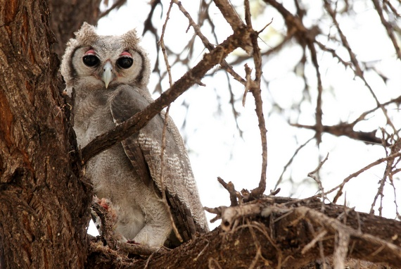 African Verreaux's Eagle Owl