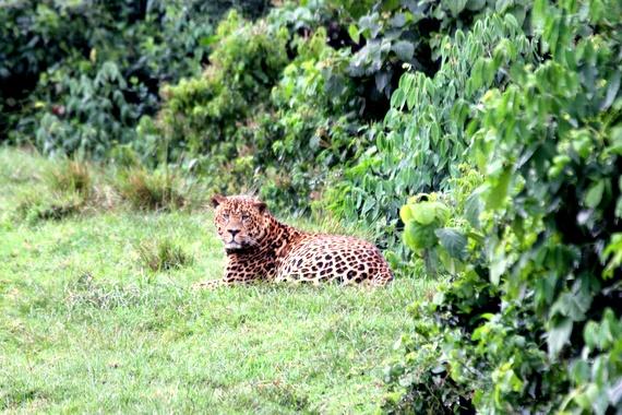 Big Leopard (possibly a Liger) in Kenya