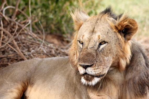 lions of samburu national park