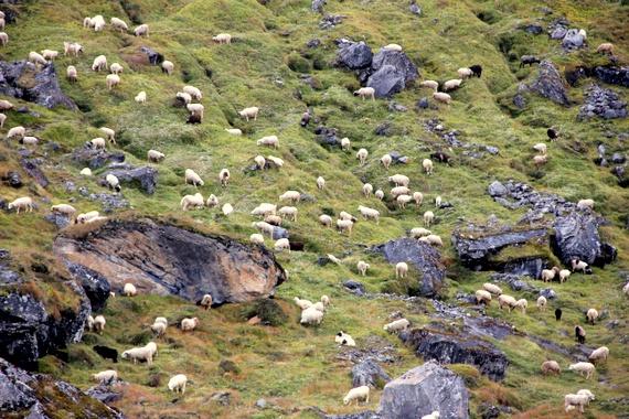 Sheep at Annapurna Base Camp, Nepal
