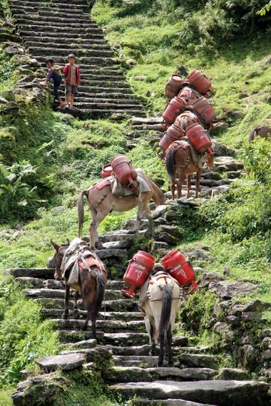 donkeys climbing stairs to Annapurna