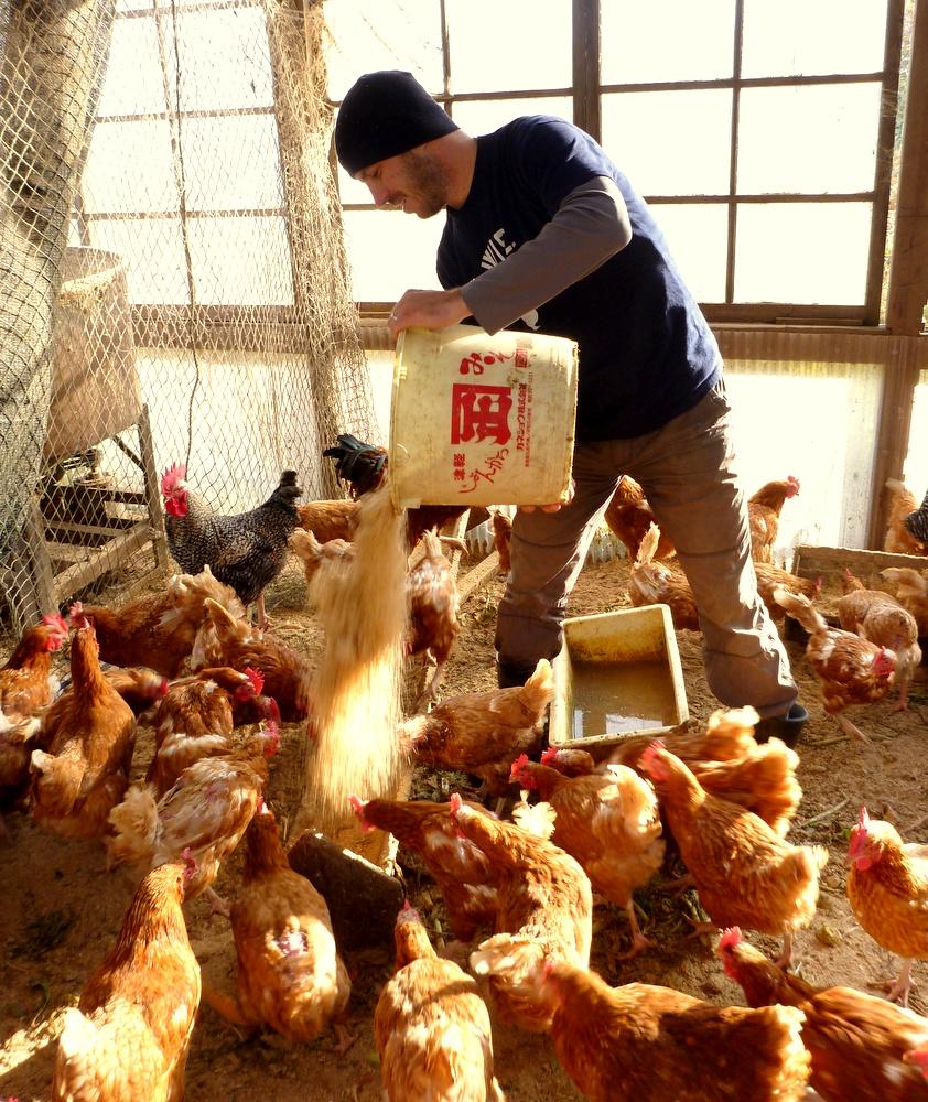 feeding chickens on japanese farm