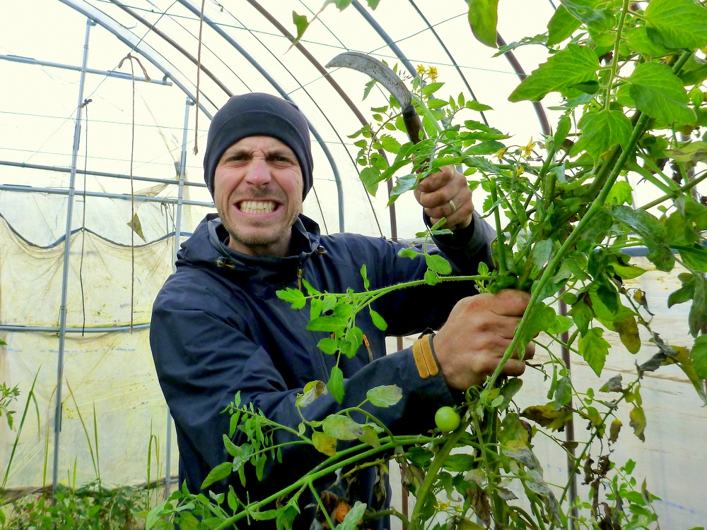 how to harvest tomatoes before winter