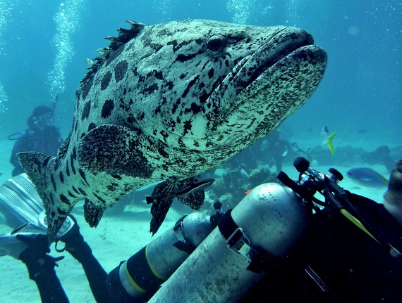 Cod fish of the great barrier reef