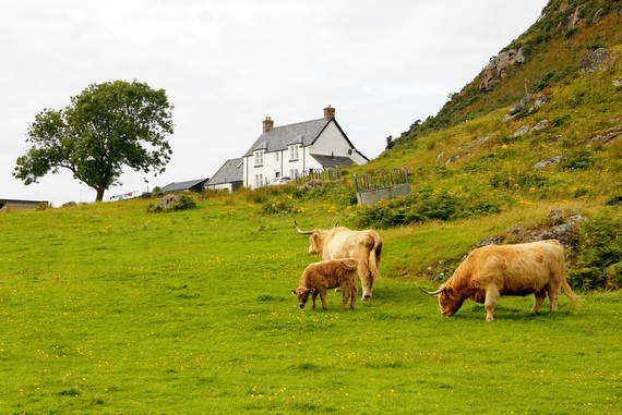 Highland cattle Scotland