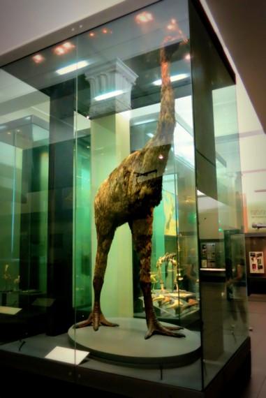 Auckland museum moa bird