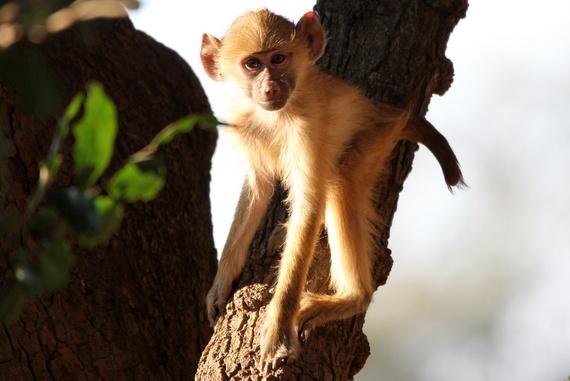 Kunda chief Nsefu and started the first photographic safari camp in Zambia - Monkey