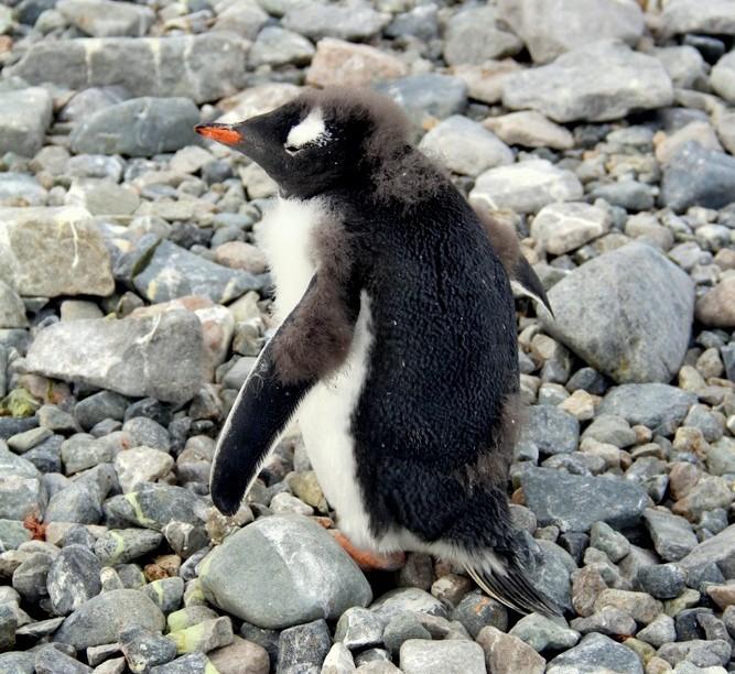 Penguin Bad Hair Day
