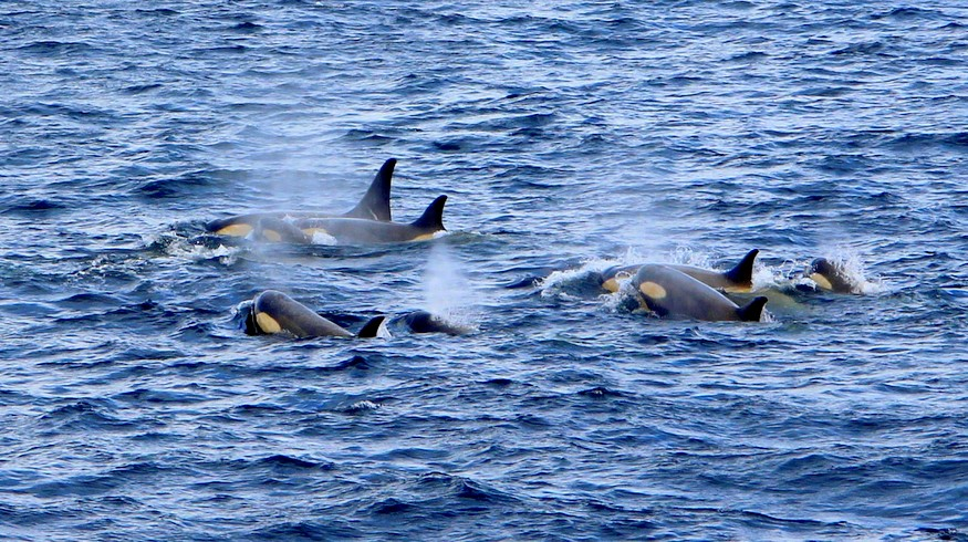 Killer Whales Antarctica