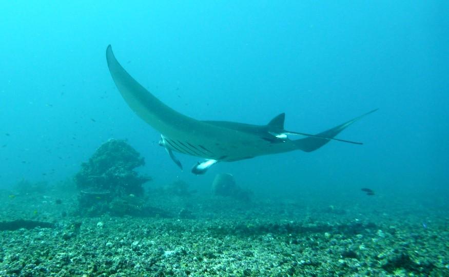 manta ray komodo-indonesia-honeytrek-com