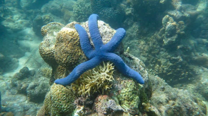 Purple star fish on gili meno