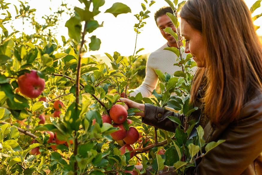 Apple Picking in Gettysburg
