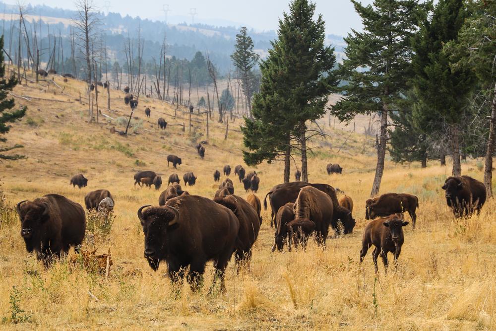 Bison Quest