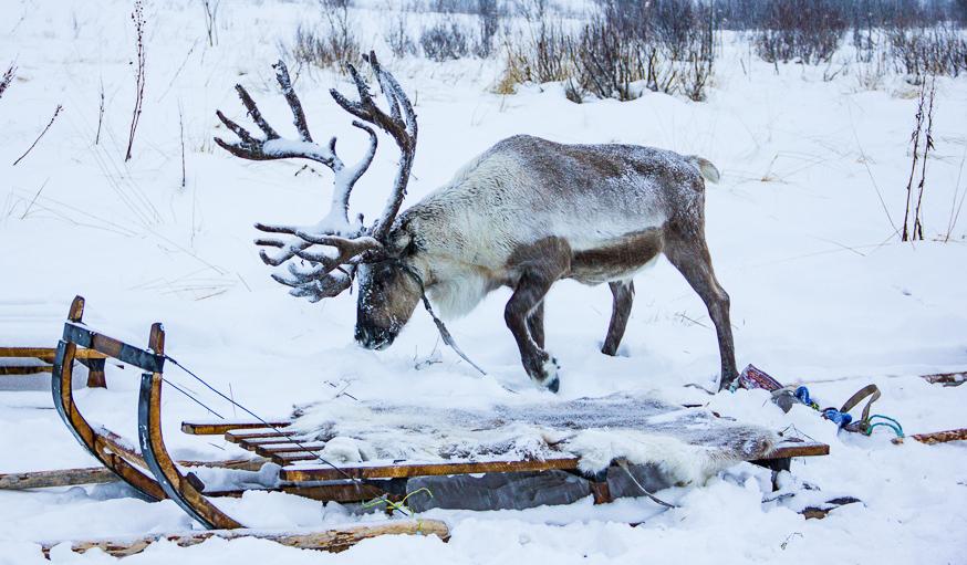 Tromso Norway Reindeer