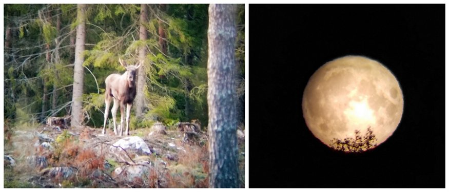 Moose Safari Wild Sweden