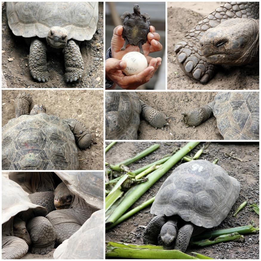 Giant Tortoise Babies Galapagos
