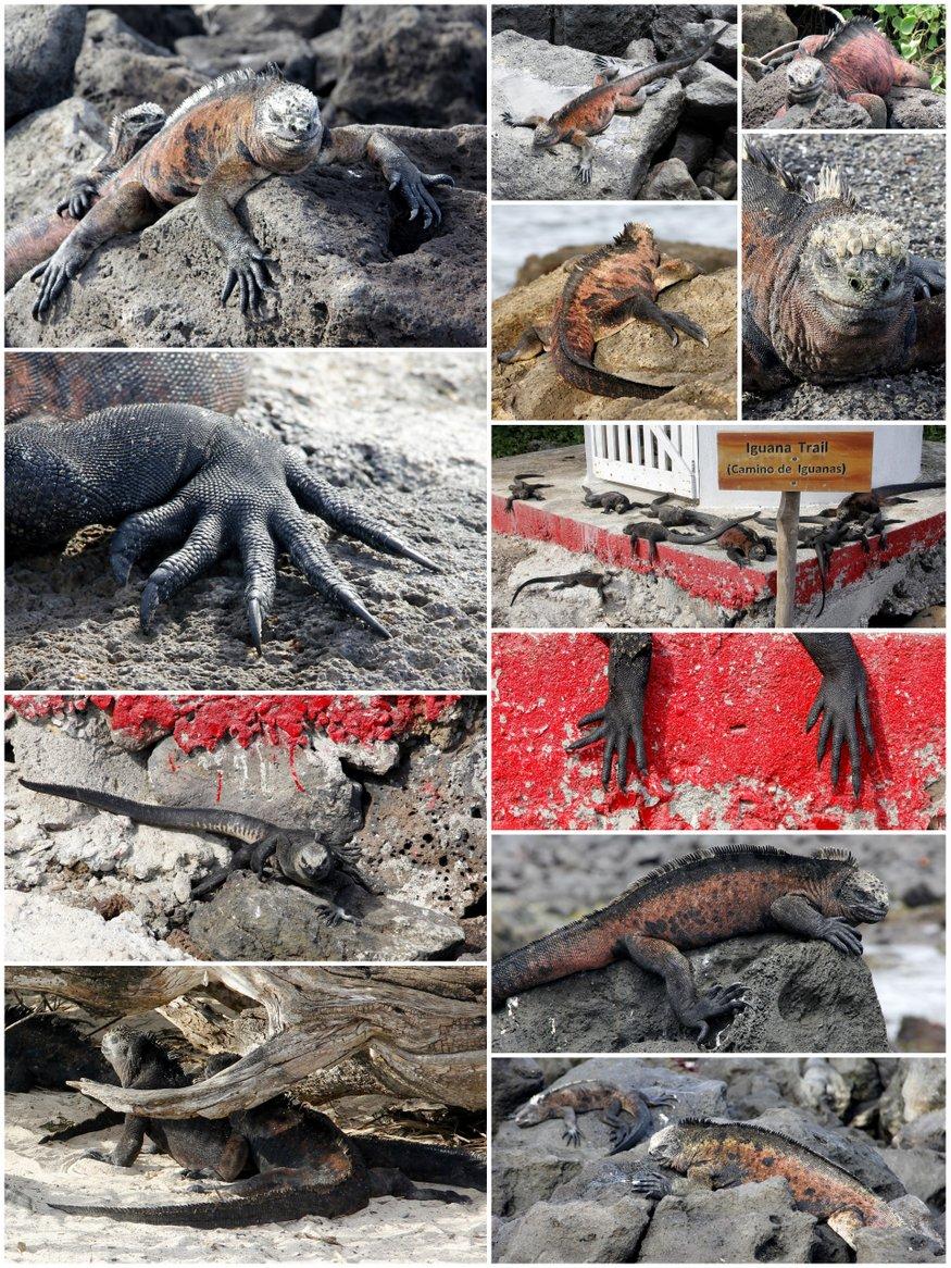 Iguana Collage Galapagos