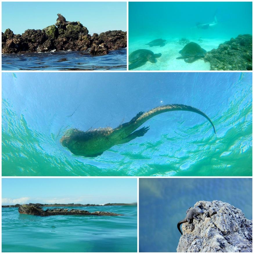 Swim with Iguanas